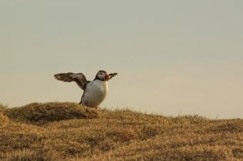 Spreading wings - Látrabjarg Puffins - Látrabjarg, Iceland