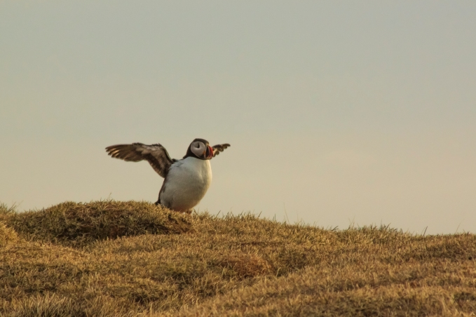 Spreading wings - Látrabjarg Puffins - Látrabjarg, Iceland