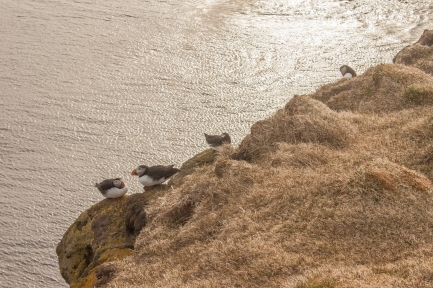Puffins on edge - Látrabjarg, Iceland