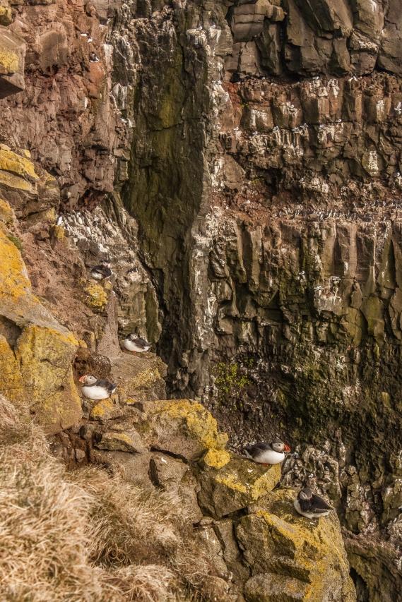 Puffin Cliffs of Látrabjarg - Látrabjarg, Iceland