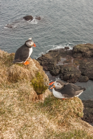 Puffin Pair - Látrabjarg, Iceland