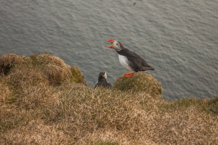 Puffin Call - Látrabjarg, Iceland
