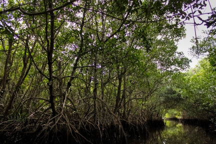 Mangrove - Everglades National Park, Florida