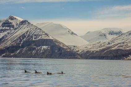 Dolphins by the mountains - Húsavík, Iceland