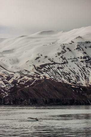 Fluke under the mountain - Húsavík, Iceland