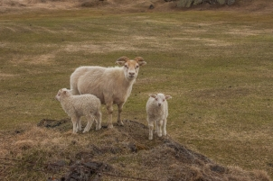 Family of Sheep - Mývatn, Iceland