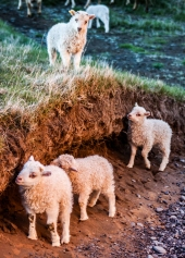 Icelandic Lambs - Iceland
