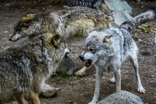 Dominance - Ely International Wolf Center, Ely, Minnesota
