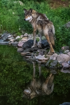 Wolf's Reflection - Ely International Wolf Center, Ely, Minnesota