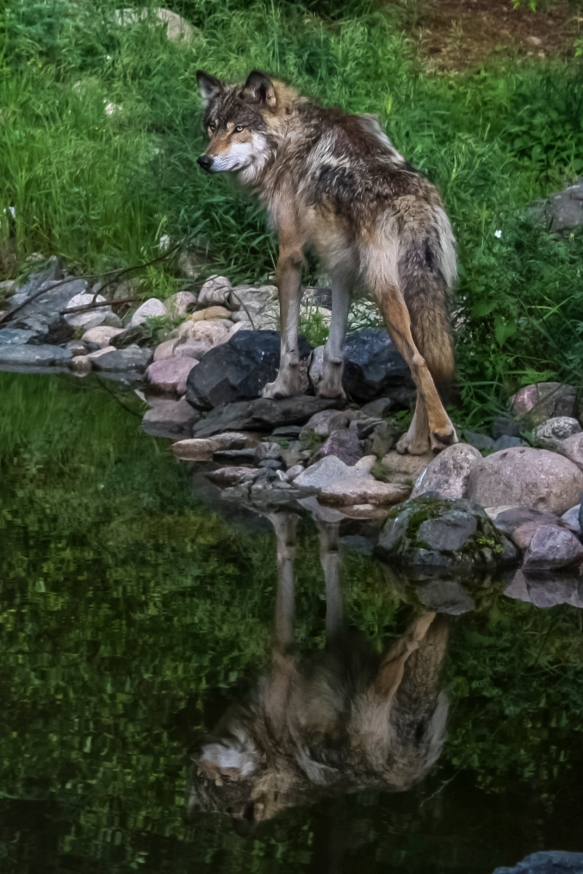 Wolf's Reflection - Ely International Wolf Center, Ely, Minnesota