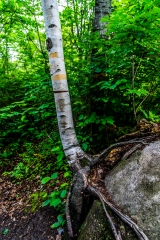 Hanging on - Chippewa National Forest, Minnesota