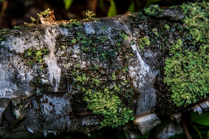 Birch Bark - Chippewa National Forest, Minnesota