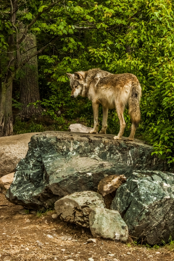 Lost in thought - Ely International Wolf Center, Ely, Minnesota