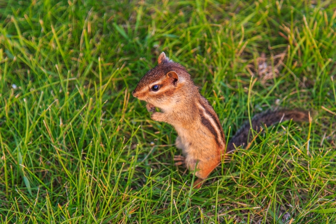 Chipmunk - Chippewa National Forest, Minnesota