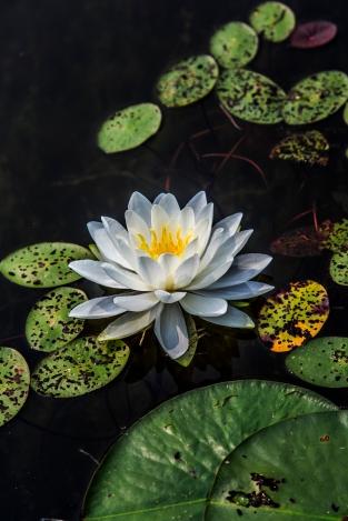 Lily on the Lake - Holland Lake, Chippewa National Forest, Minnesota