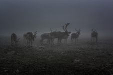 Reindeer in the Mist - Besseggen, Jotunheimen Mountains, Norway