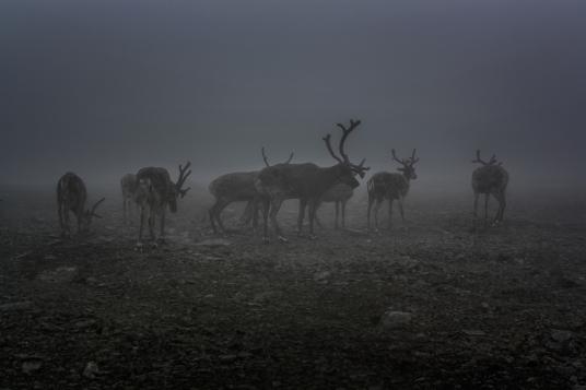 Reindeer in the Mist - Besseggen, Jotunheimen Mountains, Norway