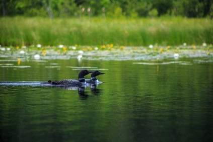 Loons on the Lake - Holland Lake, Chippewa National Forest, Minnesota