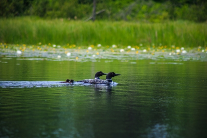 Family of Loons - Holland Lake, Chippewa National Forest, Minnesota