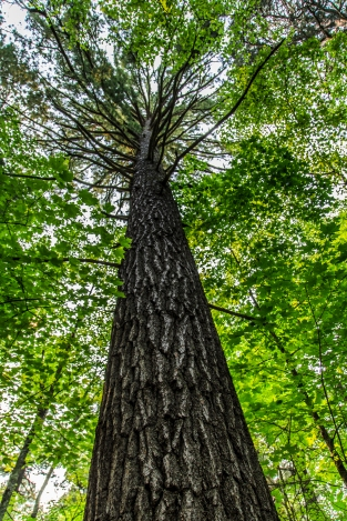 Old Growth - Lost 40, Chippewa National Forest, Minnesota