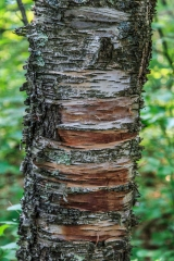 Birch Tree - Lost 40, Chippewa National Forest, Minnesota