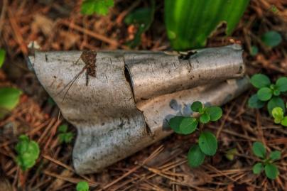 Fallen Bark - Lost 40, Chippewa National Forest, Minnesota