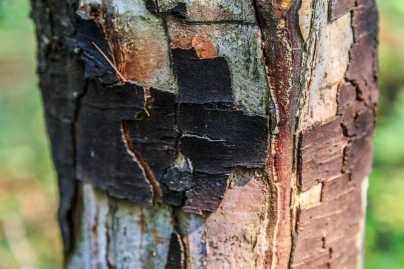 Peeling Bark - Lost 40, Chippewa National Forest, Minnesota
