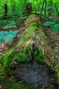 Fallen log - Lost 40, Chippewa National Forest, Minnesota