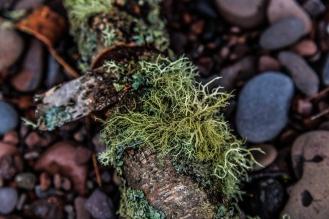 Fallen Birch on Lake Superior Stone - Lake Superior, MN