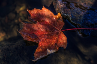 Floating Maple Leaf - Superior National Forest, MN