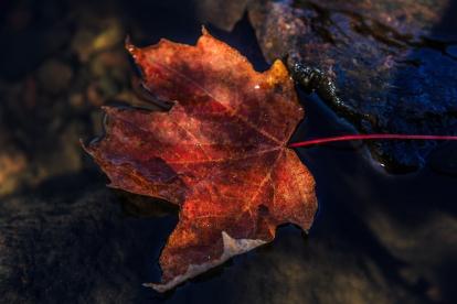 Floating Maple Leaf - Superior National Forest, MN