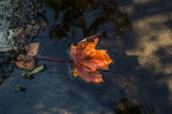 Leaf fallen on a lake - Superior National Forest, MN