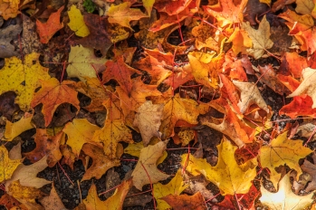 Fall Colors Fallen - Superior National Forest, MN