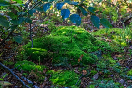 Forest Moss - Superior National Forest, MN
