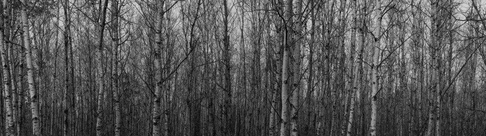 Birch Forest in Fall - Chippewa National Forest, MN