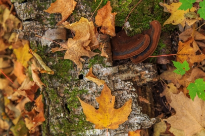 Fall leaves on fallen birch - Lake Bemidji State Park, MN