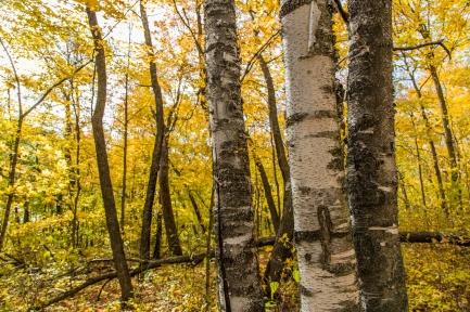 Birch Trees before Autumn Forest - Lake Bemidji State Park, MN