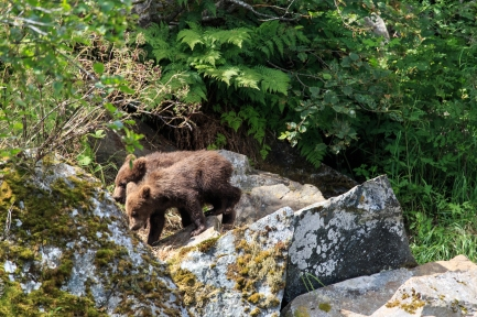 Grizzly Bear Series - Wolverine Creek, Alaska