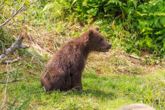 Grizzly Bear Series - Wolverine Creek, Alaska