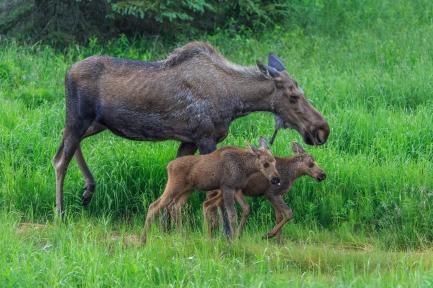 Moose of Kenai Series- Kenai Peninsula, Alaska