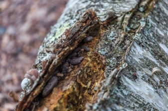 Pebbles beneath the bark - Crystal Bay, MN