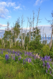 Wild Lupine - Lake Superior, MN