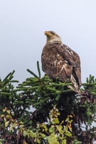 Kasilof Eagle - Kenai Peninsula, Alaska