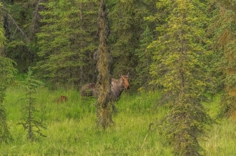 Moose of Kenai Series- Kenai Peninsula, Alaska
