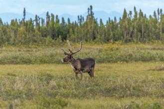 Caribou of Kenai Series - Kenai Peninsula, Alaska