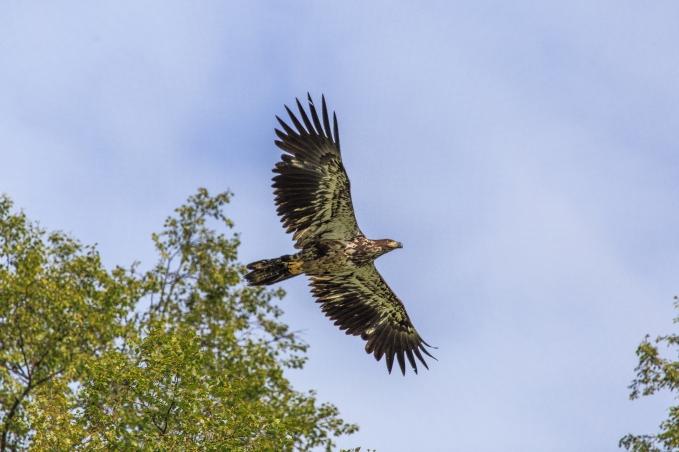 Soaring Eagle - Wolverine Creek, Alaska