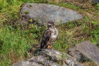 Searching for Salmon - Wolverine Creek, Alaska