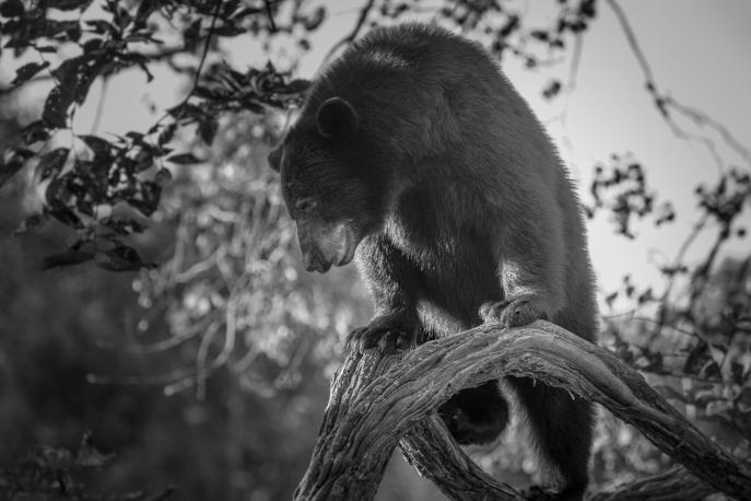 Black Bears - Vince Shute Wildlife Sanctuary, Minnesota