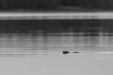 Beaver in Dora Lake - Chippewa National Forest