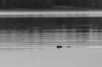 Beaver in Dora Lake - Chippewa National Forest